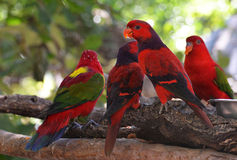 Lory red bird Royalty Free Stock Image
