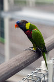 Lory. A lory rests on rail Stock Photos