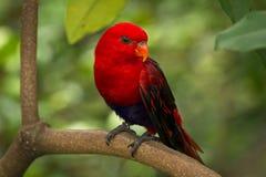 Lory rouge Image libre de droits