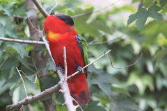 Lory Roxo-naped Fotografia de Stock Royalty Free