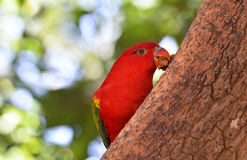 Lory on tree Stock Photography