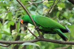 Lory verde de la pluma Imágenes de archivo libres de regalías