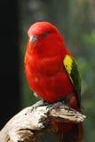 Lory vibrar, Adelaide Zoo, Sul da Austrália Fotografia de Stock Royalty Free