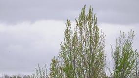 Los álamos con las hojas jovenes balancean en el viento metrajes