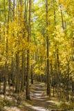 Los álamos tembloses alinean el rastro de Colorado Imagen de archivo libre de regalías