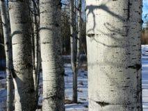 Los álamos tembloses del invierno para arriba se cierran Fotos de archivo