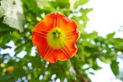 Los ángeles del sanguinea del Brugmansia de la flor tocan la trompeta foto de archivo