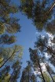 Los árboles altos circundan el fondo del ángulo bajo del cielo azul Imágenes de archivo libres de regalías