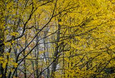 Los árboles amarillos del otoño llegan generalmente primero en caída Imagen de archivo libre de regalías