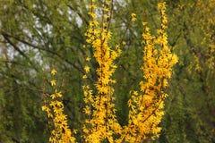 Los árboles amarillos florecen en primavera Arbusto hermoso imagen de archivo