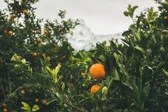 Los árboles anaranjados con las naranjas maduras en la montaña cultivan un huerto, Turquía Imagenes de archivo