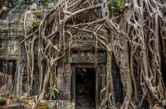 Los árboles arraigan el crecimiento sobre Angkor Wat Ruins, Camboya, Asia. Tradi Imagenes de archivo