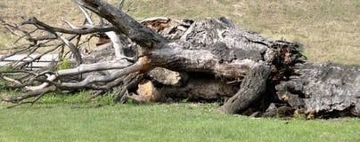 Los árboles caidos son fuente muy importante y hábitats de la comida para el mA fotos de archivo libres de regalías