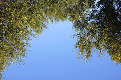 Los árboles cubiertos con follaje verde en un fondo del cielo azul, ven de abajo hacia arriba Fotografía de archivo libre de regalías
