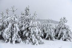 Los árboles cubrieron nieve Árboles de navidad cubiertos con la nieve blanca fro Fotos de archivo libres de regalías