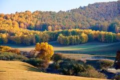 Los árboles de abedul blanco del otoño en la puesta del sol de la ladera Imagenes de archivo