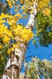 Los árboles de abedul con amarillo se van en bosque del otoño Imagen de archivo
