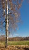 Los árboles de abedul con caída colorean perder sus hojas en un país que fija una cerca vieja y campos en la distancia Imagenes de archivo