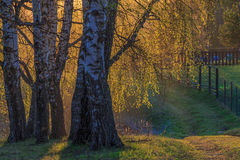 Los árboles de abedul con los jóvenes se van en la primavera Fotos de archivo