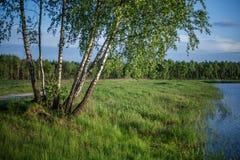 Los árboles de abedul con verde se van cerca del lago Fotografía de archivo libre de regalías
