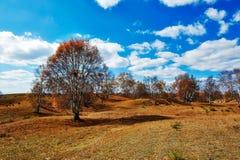 Los árboles de abedul de plata del otoño Fotos de archivo