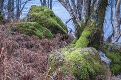Los árboles de abedul de plata entre el helecho y el musgo cubrieron los cantos rodados Fotos de archivo libres de regalías