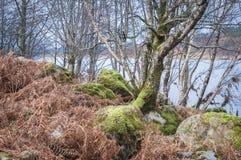 Los árboles de abedul de plata entre el helecho y el musgo cubrieron los cantos rodados Imagenes de archivo