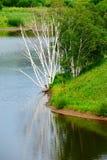 Los árboles de abedul de plata muertos en el agua Foto de archivo