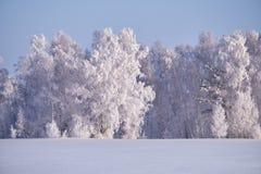 Los árboles de abedul debajo de la escarcha en campo de nieve en invierno sazonan Foto de archivo
