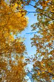 Los árboles de abedul del otoño con amarillo se van contra el cielo azul Fotos de archivo