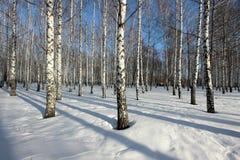 Los árboles de abedul en el sol poniente en el invierno parquean Imágenes de archivo libres de regalías