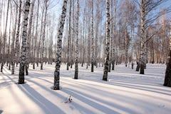 Los árboles de abedul en el sol poniente en el invierno parquean Imagen de archivo libre de regalías