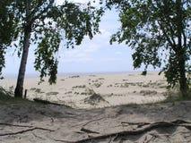 Los árboles de abedul en las dunas del Curonian escupen Fotografía de archivo