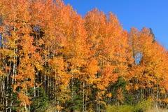 Los árboles de abedul en oro del firey marcan el inicio de la caída imagenes de archivo