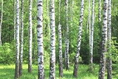 Los árboles de abedul hermosos con la corteza de abedul blanco en arboleda del abedul con el abedul verde se van Imagen de archivo libre de regalías