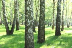 Los árboles de abedul hermosos con la corteza de abedul blanco en arboleda del abedul con el abedul verde se van Imágenes de archivo libres de regalías