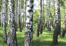 Los árboles de abedul hermosos con la corteza de abedul blanco en arboleda del abedul con el abedul verde se van Foto de archivo