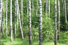 Los árboles de abedul hermosos con la corteza de abedul blanco en arboleda del abedul con el abedul verde se van Fotos de archivo libres de regalías