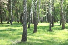 Los árboles de abedul hermosos con la corteza de abedul blanco en arboleda del abedul con el abedul verde se van Fotografía de archivo libre de regalías