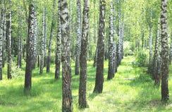 Los árboles de abedul hermosos con la corteza de abedul blanco en arboleda del abedul con el abedul verde se van Imagen de archivo