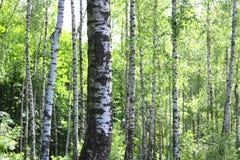 Los árboles de abedul hermosos con la corteza de abedul blanco en arboleda del abedul con el abedul verde se van Imagenes de archivo