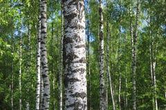 Los árboles de abedul hermosos con la corteza de abedul blanco en arboleda del abedul con el abedul verde se van Foto de archivo libre de regalías