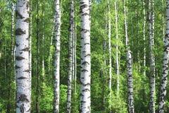 Los árboles de abedul hermosos con la corteza de abedul blanco en arboleda del abedul con el abedul verde se van Fotografía de archivo