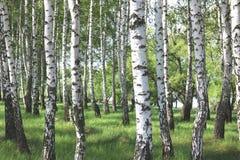 Los árboles de abedul hermosos con la corteza de abedul blanco en arboleda del abedul con el abedul verde se van Fotos de archivo