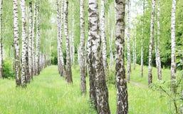 Los árboles de abedul hermosos con la corteza de abedul blanco en arboleda del abedul con el abedul verde se van en verano Fotografía de archivo libre de regalías