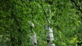 Los árboles de abedul hermosos en un bosque del verano empañaron el fondo