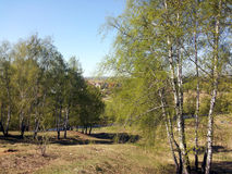 Los árboles de abedul jovenes en los bancos del río adentro pueden fotos de archivo libres de regalías