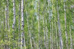 Los árboles de abedul jovenes hermosos con verde se van en verano Imagen de archivo