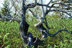 Los árboles de abedul de plata peculiares en el jardín Fotos de archivo libres de regalías