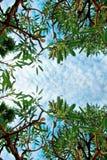 Los árboles de abedul verdes enormes del follaje y el cielo azul en la selva tropical en fondo de la naturaleza del marco texturi Foto de archivo libre de regalías